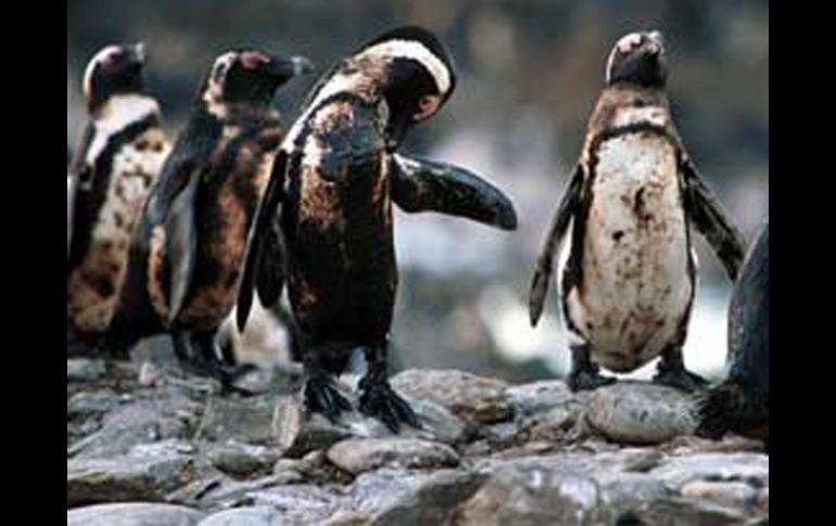 Image result for pinguino empetrolado imagen