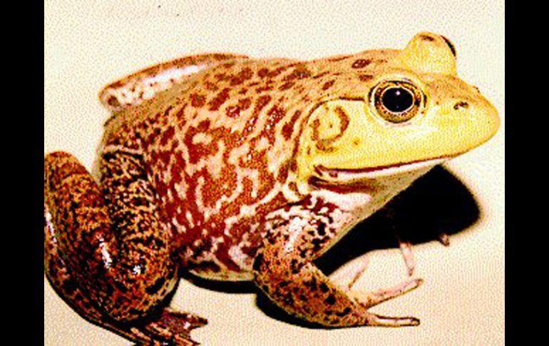 Aseguram que la rana tiene un excelente sabor, de hecho a nivel internacional es considerado como alimento de gourmet. ESPECIAL  /