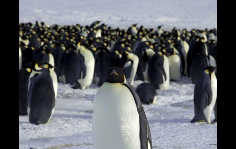 Encuentran restos de pingüino gigante en la Antártida | El ...