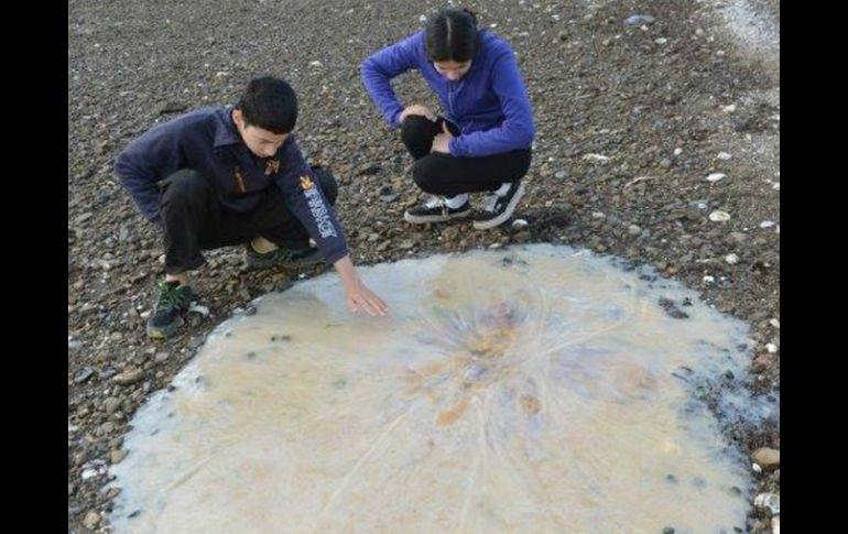 Una medusa gigante llega a una playa australiana
