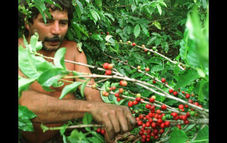 Chiapas cultiva café de conservación en Área Natural Protegida