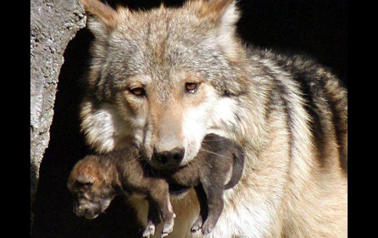 Lobo Gris Mexicano Foto De: Nacen Siete Crías De Lobo Mexicano