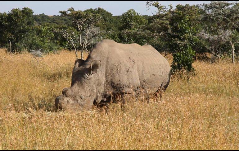El último rinoceronte blanco del norte, está a punto de morir