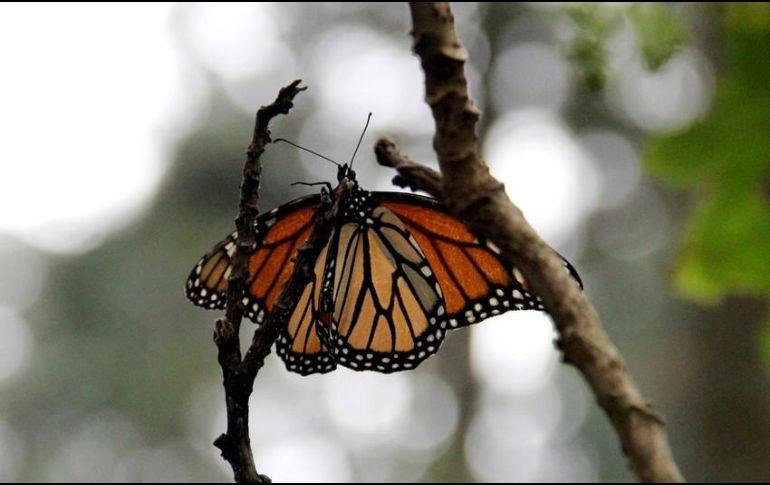 La población de la Mariposa Monarca va en constante descenso desde la década de los noventa. NOTIMEX / ARCHIVO