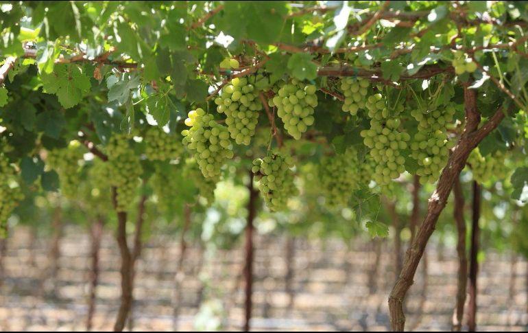 La uva jalisciense es la primera fruta fresca en cosecharse en el mundo, dado que se madura en un momento en que no hay producción en fresco en los demás países vitivinícolas. TWITTER / @JaliscoSEDER