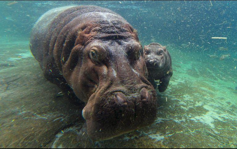 Muere un turista asiático atacado por un hipopótamo en Kenia