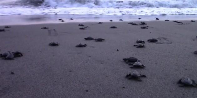 Tortugas llegan a Chiapas bajo la protección de habitantes