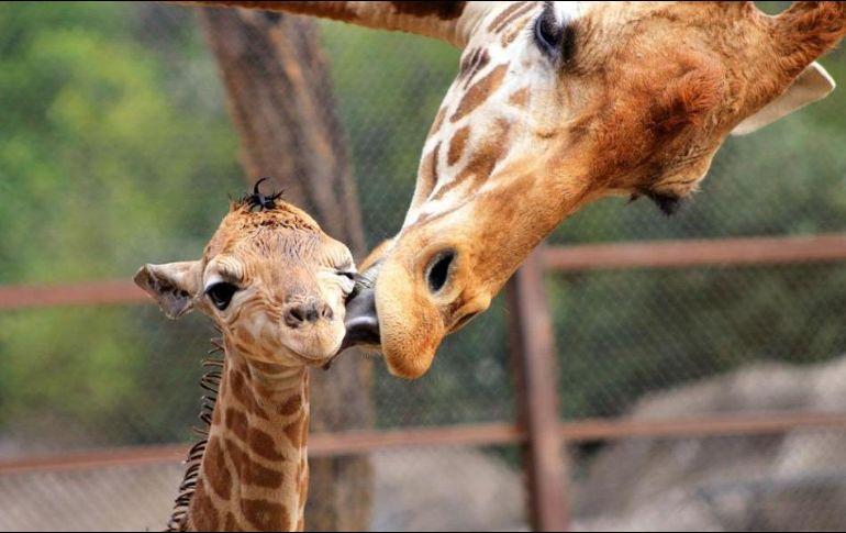 Toyota El Centro >> Reportan nacimiento de jirafa en el Zoológico de ...