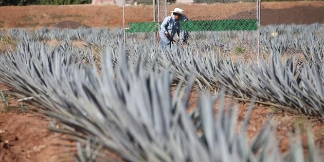 Prevén producir 35 mil 500 litros de tequila por hora para 2019