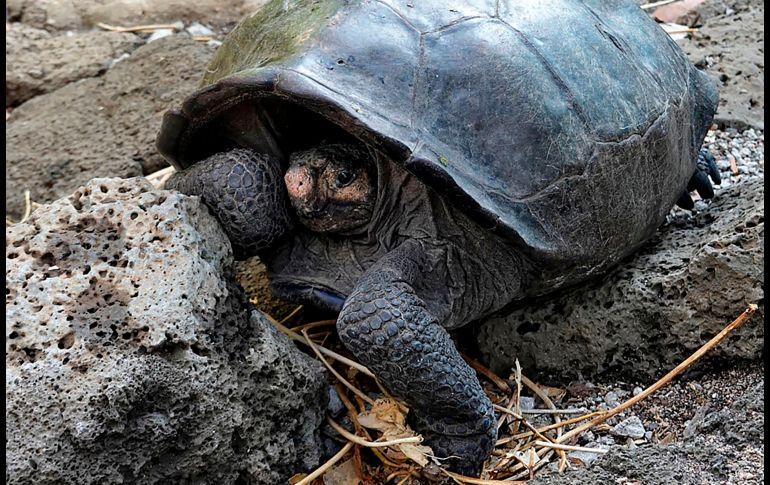 tortuga-gigante-2