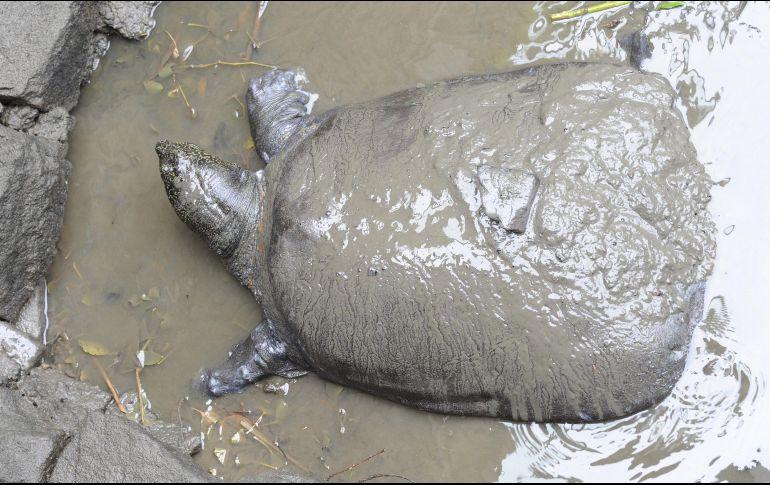 Muere última tortuga hembra de caparazón blando, tras intento de inseminación