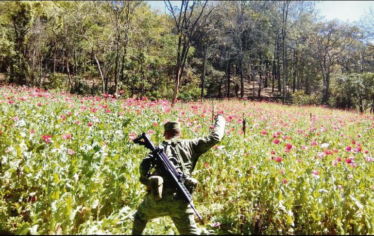 Tan sólo en 2017 el Gobierno federal se deshizo de casi 30 mil hectáreas de amapola. ESPECIAL
