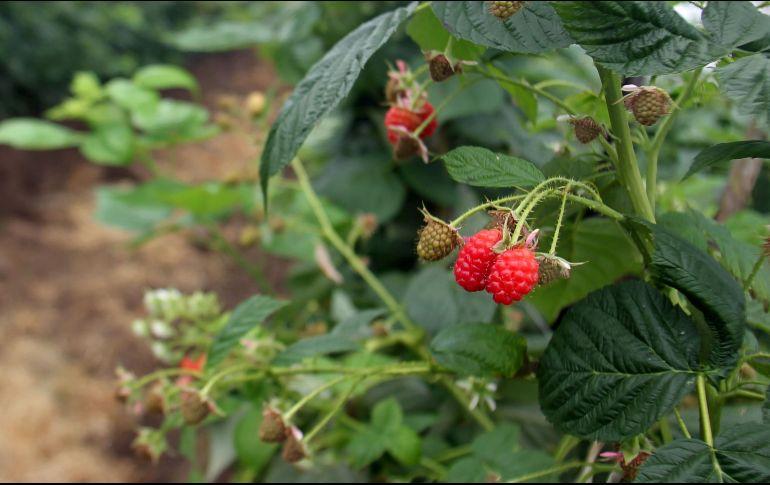 A nivel nacional, las berries representan el tercer producto agrícola más exportado detrás de la cerveza y el aguacate. EL INFORMADOR/ARCHIVO