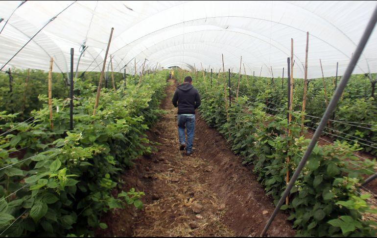 México, líder productor de alimentos como los berries, tiene la ventana de octubre hasta mayo para comercializar el producto en el extranjero. EL INFORMADOR / ARCHIVO