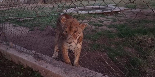 Aseguran leona y tigres de bengala en predio de Navojoa, Sonora