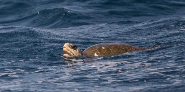 Encuentran una tortuga viva en el estómago de un pez