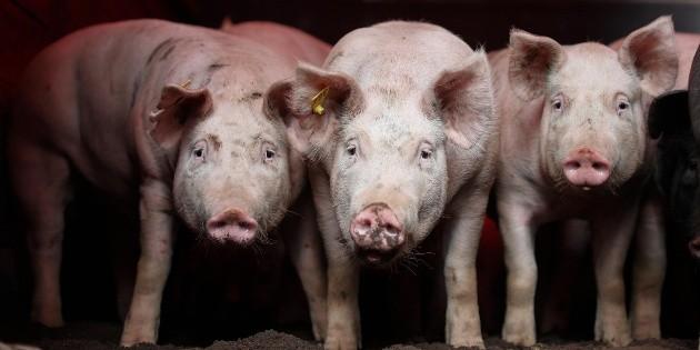 México, en alerta por peste porcina africana