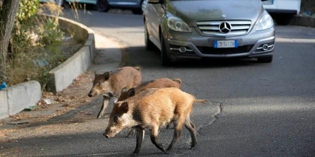 Invasión de jabalíes pone en aprietos a habitantes de Roma